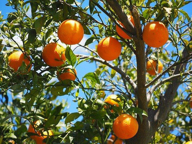 Orangen für Indien